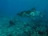 tiger-shark2.jpg