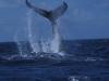 caicos-whaletail.jpg