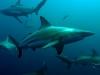 baited-dive-aliwal-shoal-9