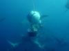 baited-dive-aliwal-shoal-3