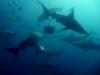 baited-dive-aliwal-shoal-4