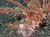 ambon_scorpionfish_www.jpg