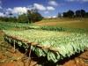 plantacja.jpg