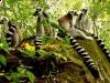 lemury-isalo