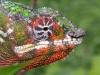 panther_chameleon_furcifer_pardalis