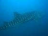 moalboal-nurkowanie-10