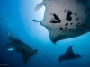 Diving with Manta Rays in Raja Ampat, West Papua, Indonesia