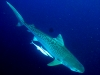aliwal-shoal-tiger-shark-1