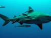 aliwal-shoal-tiger-shark-2