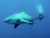 rpa-zambezi-bull-shark-1