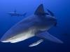 rpa-zambezi-bull-shark-2