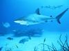 rpa-zambezi-bull-shark-3
