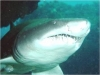 rpa-zambezi-bull-shark-4