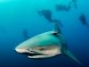 rpa-zambezi-bull-shark-5
