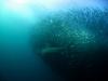 rpa-sardine-run-4