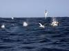 south-africa-sardine-run-1