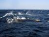 south-africa-sardine-run-2