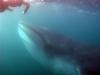 south-africa-sardine-run-5