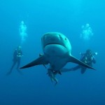 bull-shark-protea
