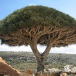 Socotra_dragon_tree