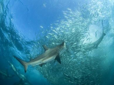 sardine-run-focia