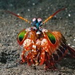 mantis-shrimp2