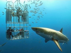 white-shark-diving-in-guadalupe-island1