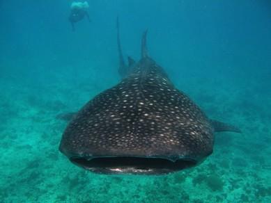 majówka 2018 nurkowanie na Malediwach z Polakami: rekin wielorybi