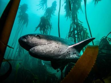 sześcioszparowaty rekin