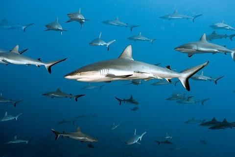 rekiny z Polinezji Francuskiej