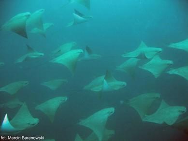 nurkowanie w Mozambiku: manty